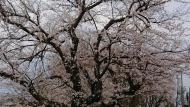 20210324_桜