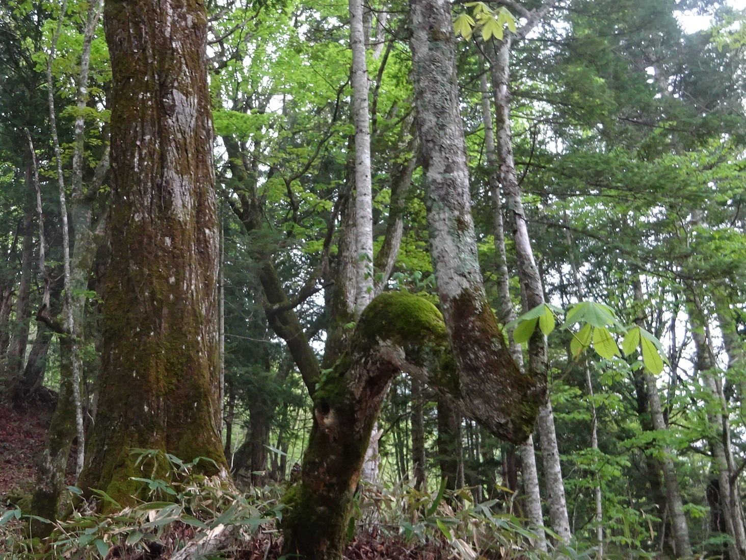曲がった木 (1)
