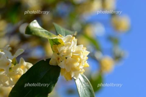 6665057 白い沈丁花