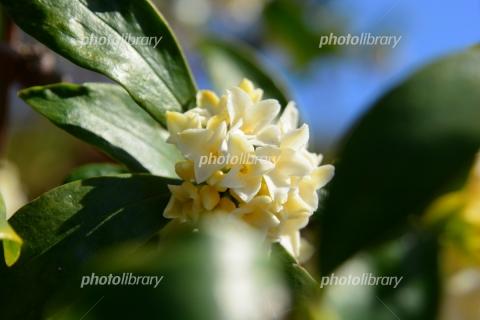 6665059 白い沈丁花