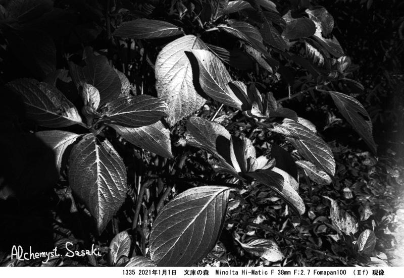 黄ばんだ紫陽の葉1335-43