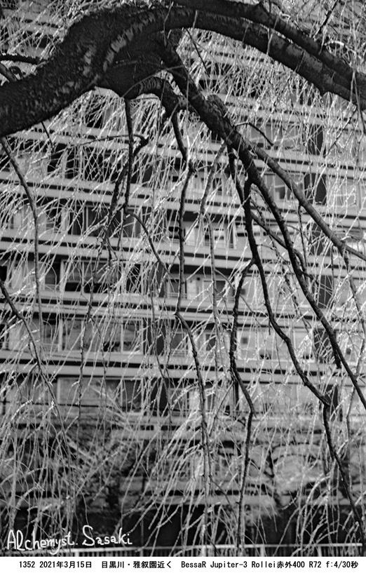 目黒川の桜1352-13