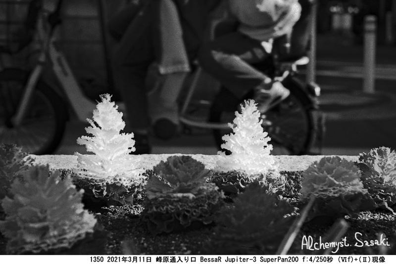 燃える花キャベツ1350-4