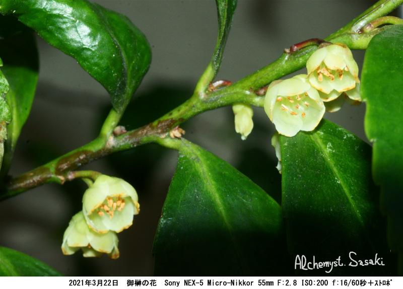 御榊の花DSC07411