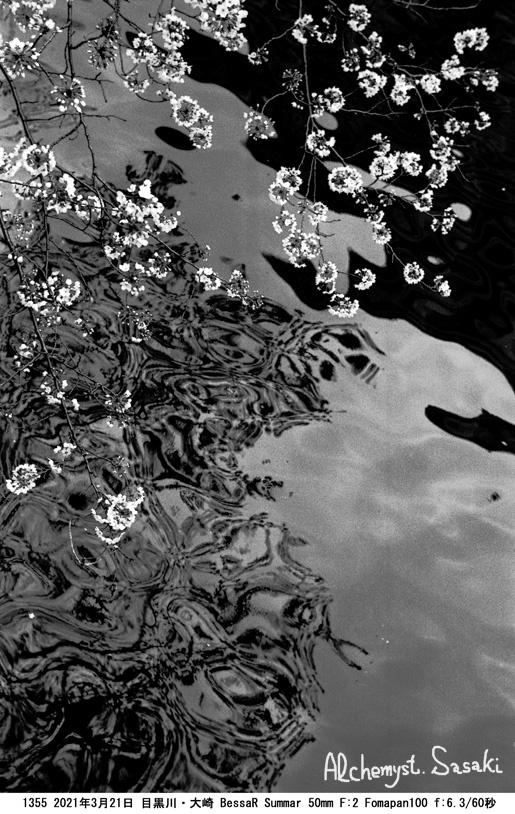 目黒川の桜3月21日1355-31