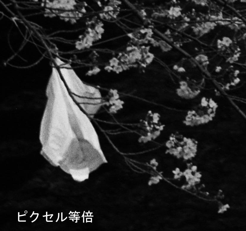 目黒川の桜3月24日 等倍