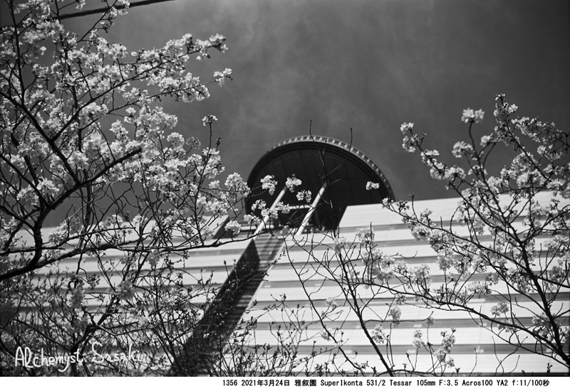 目黒川の桜3月24日1356-4