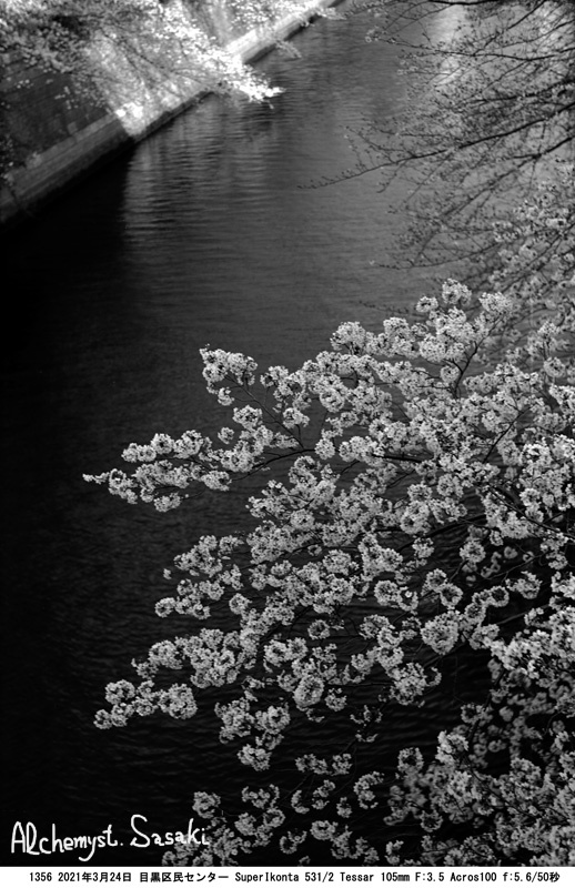 目黒川の桜3月24日1356-5