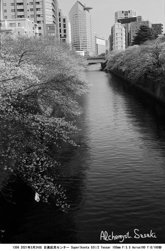 目黒川の桜3月24日1356-9