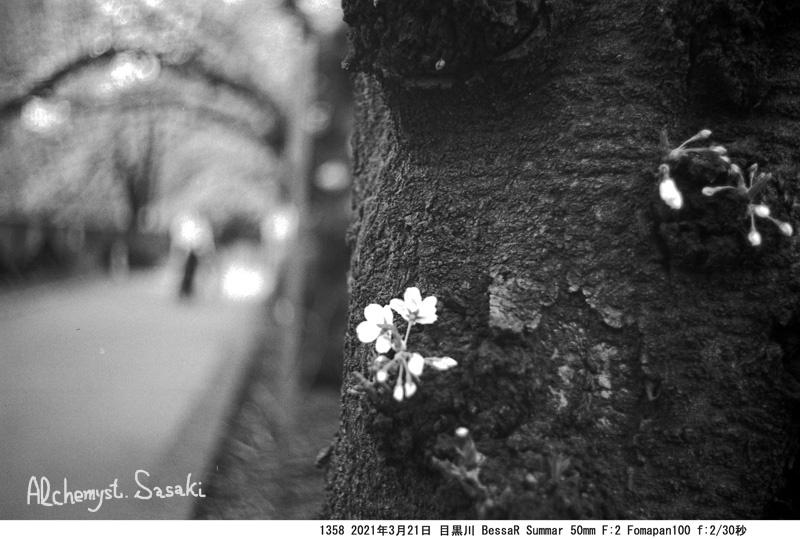 老いた桜1358-4