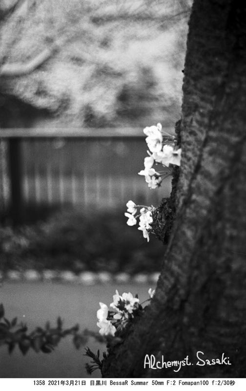 老いた桜1358-6