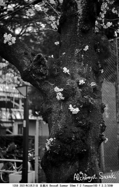 老いた桜1358-7
