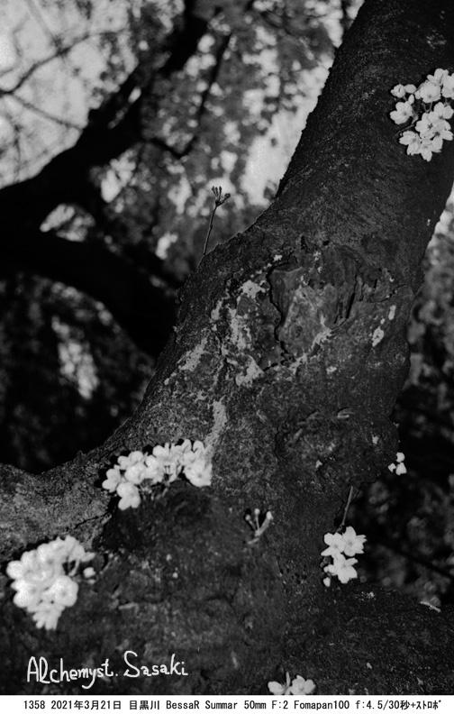 老いた桜1358-9