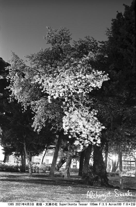 夜桜1365-4
