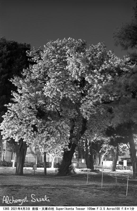 夜桜1365-8