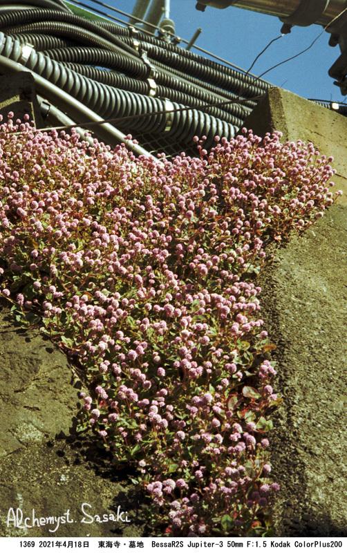 大山墓地の花1369 -35
