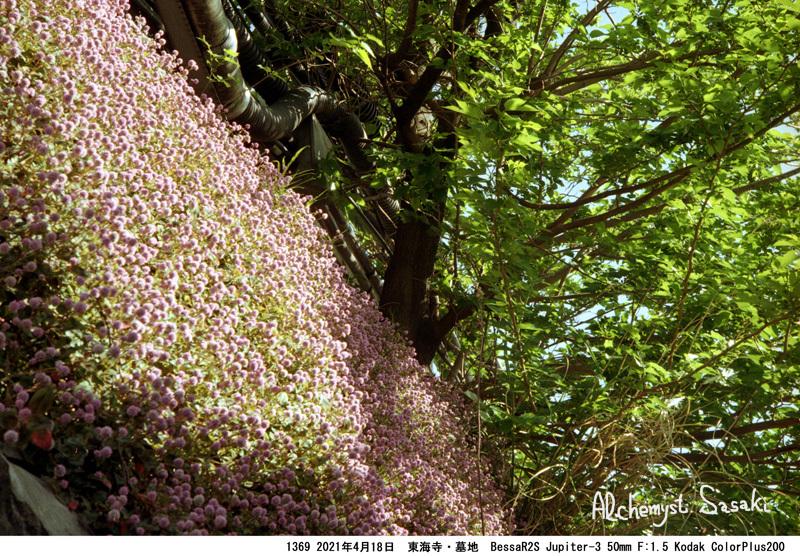大山墓地の花1369 -36