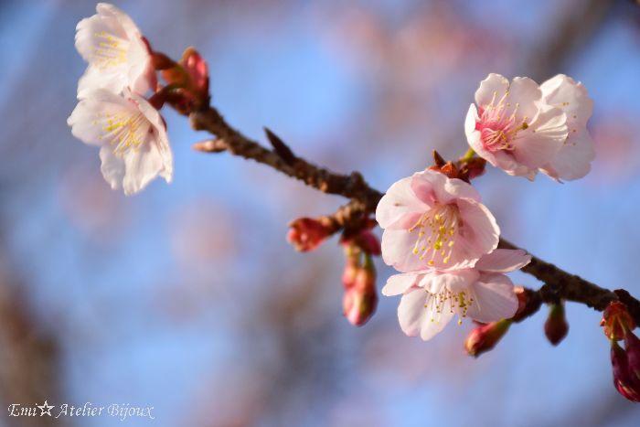 013-寒桜BLOG