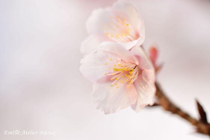 045-寒桜BLOG