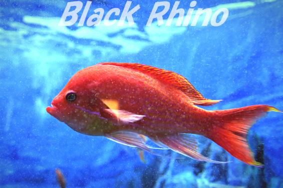 ナガハナダイ02 東海大学海洋科学博物館
