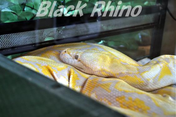 アミメニシキヘビ01 しろとり動物園