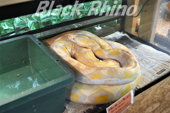 アミメニシキヘビ02 しろとり動物園