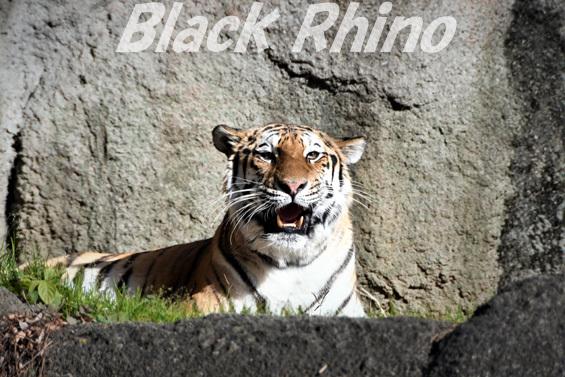 アムールトラ19 浜松市動物園