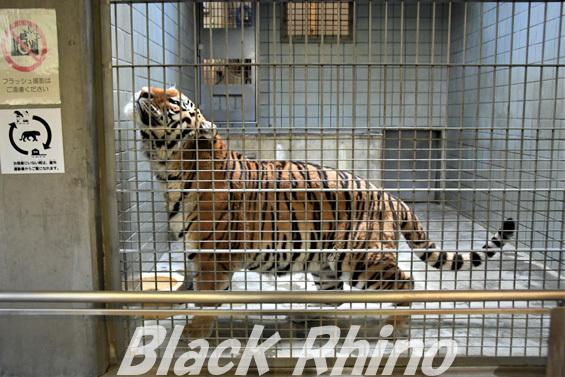 アムールトラ20 浜松市動物園