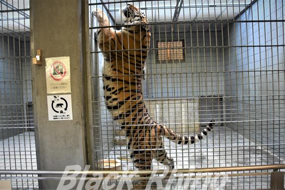 アムールトラ21 浜松市動物園
