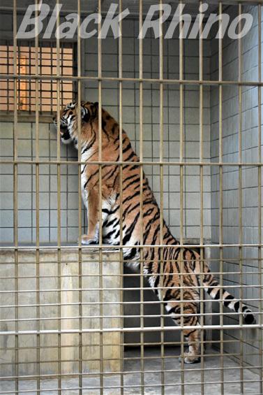 アムールトラ22 浜松市動物園