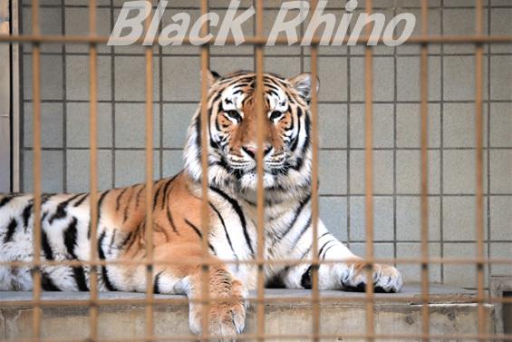 アムールトラ23 浜松市動物園
