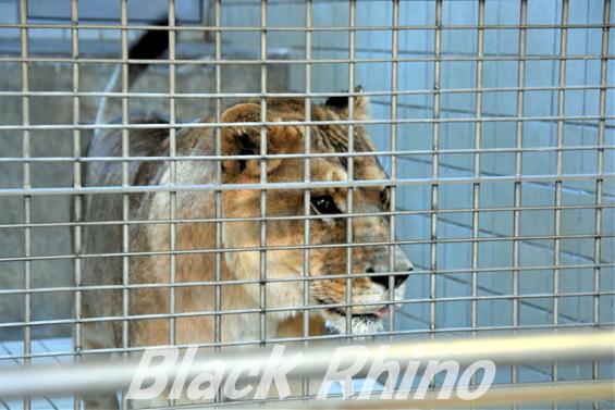 ライオン03 浜松市動物園
