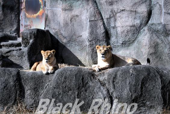ライオン05 浜松市動物園