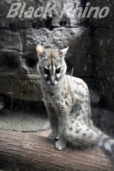 ケープジェネット03 東山動物園