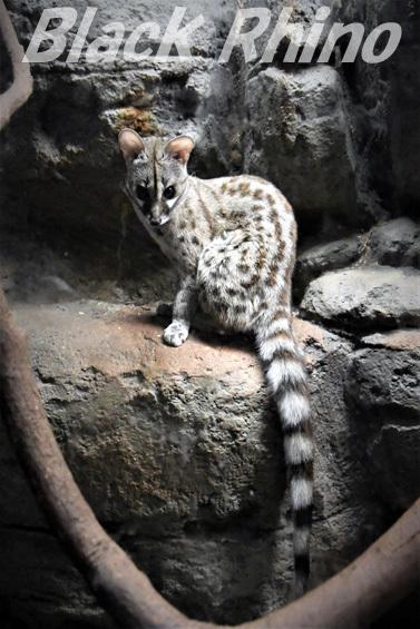 ケープジェネット05 東山動物園