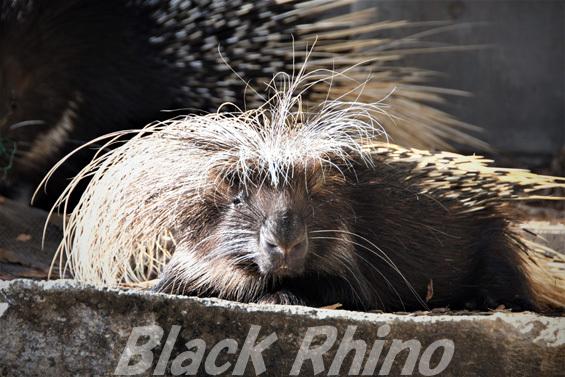 アフリカタテガミヤマアラシ04 浜松市動物園
