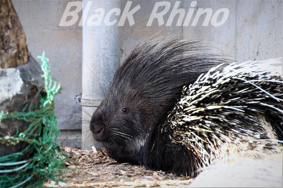 アフリカタテガミヤマアラシ06 浜松市動物園