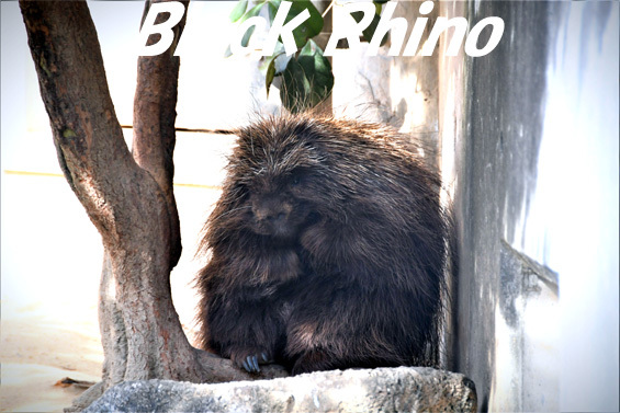 カナダヤマアラシ02 浜松市動物園
