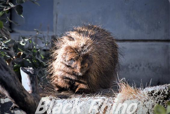 カナダヤマアラシ03 浜松市動物園