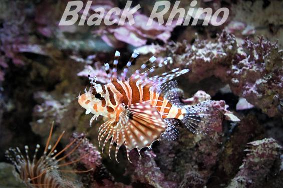キリンミノ01 美ら海水族館