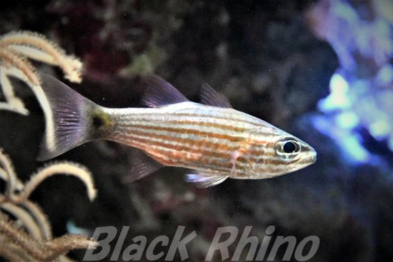 スダレヤライイシモチ01 美ら海水族館