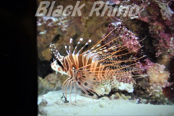 ネッタイミノカサゴ01 美ら海水族館