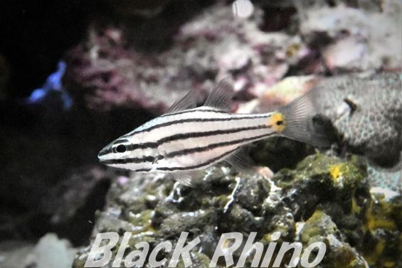 ヤライイシモチ02 美ら海水族館