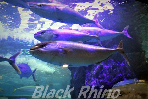 カンパチ02 魚津水族館