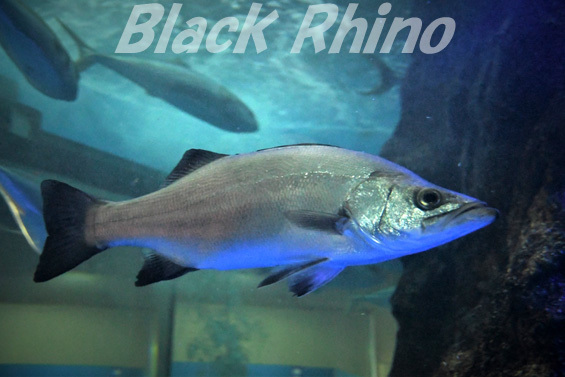 ヒラスズキ01 魚津水族館