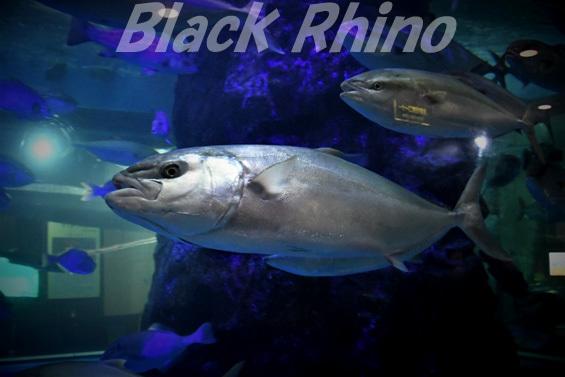 ヒラマサ01 魚津水族館