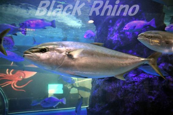 ヒラマサ02 魚津水族館