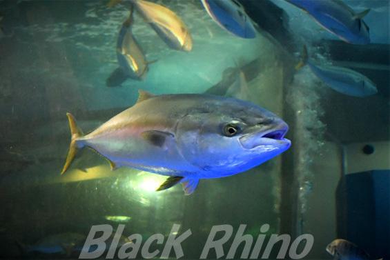 ブリ01 魚津水族館