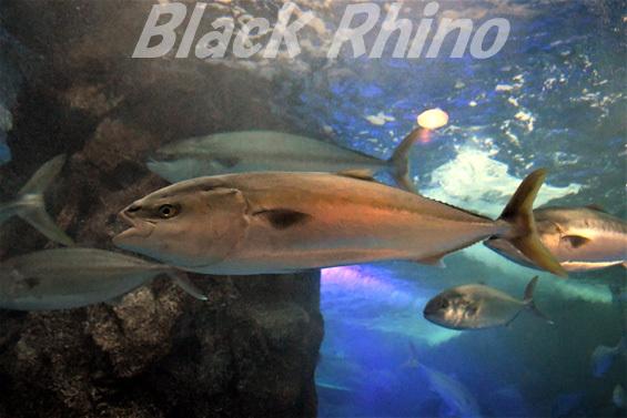 ブリ02 魚津水族館