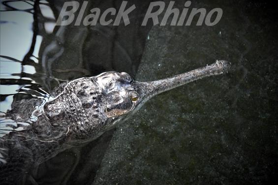 インドガビアル02 東山動物園
